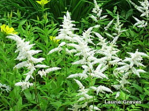 Astilbe, the fairy flower of the garden