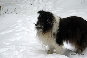 Liam, dog of the north
