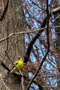 A goldfinch casing the yard