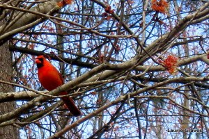 Mr. Cardinal, in all his red glory