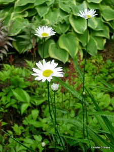 Daisies on a grey day