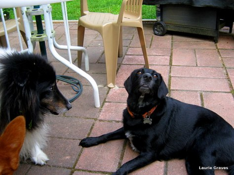 Somara at rest on the patio while Liam looks on. (Holly's ear is in the lower left corner.)