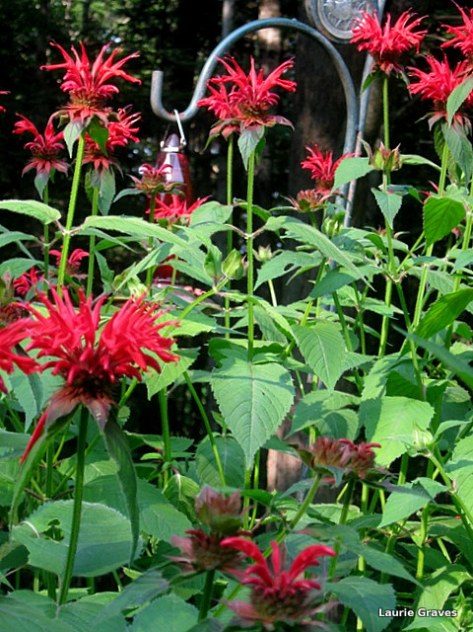 More bee balm. I just can't get enough of it.
