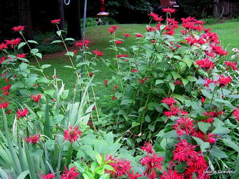 The bee balm, knocked by the rain
