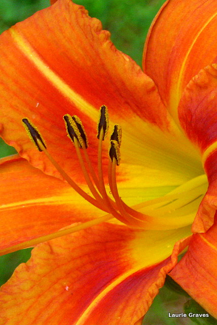 Close-up of a daylily. This plant came from the old farm house in North Vassalboro, where I grew up.