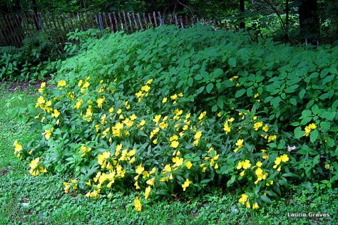 Evening primroses by the woods