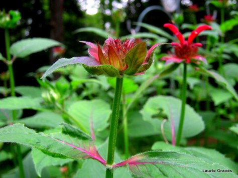 Bee balm ready to bloom