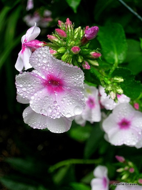 Phlopping phlox pretty after the rain