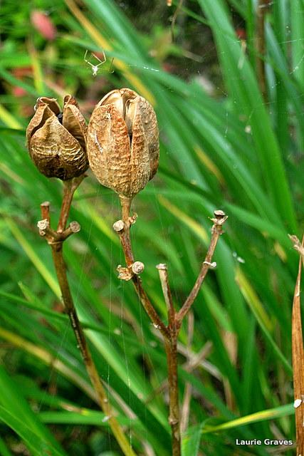 Daylily pod