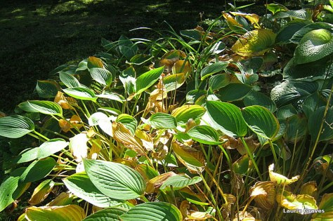 The fading hostas