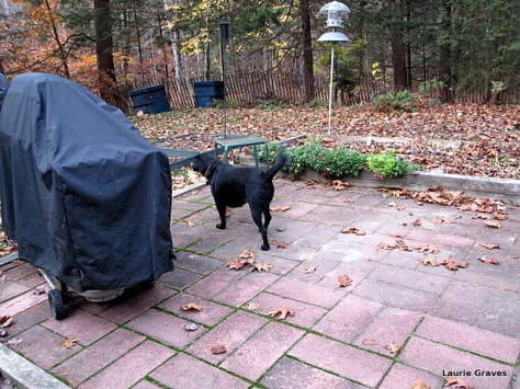 Somara, surveying the yard and the unraked leaves