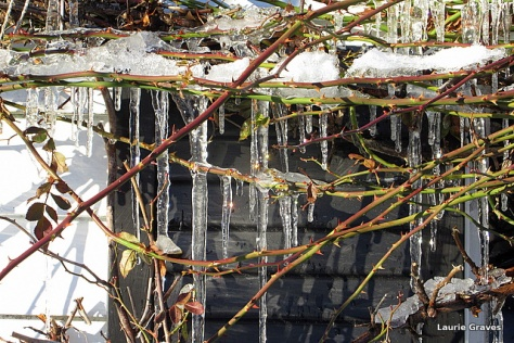 Icicles on roses