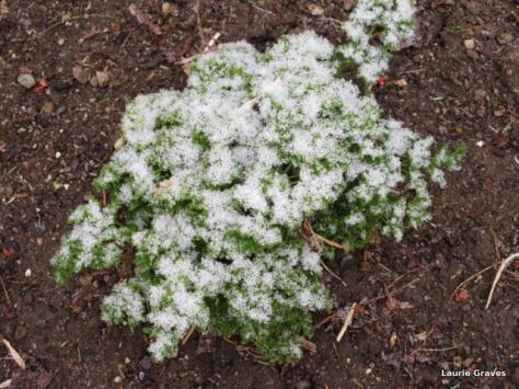Snow on parsley
